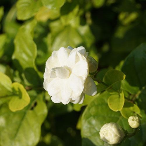 Cây hoa lài (nhài)