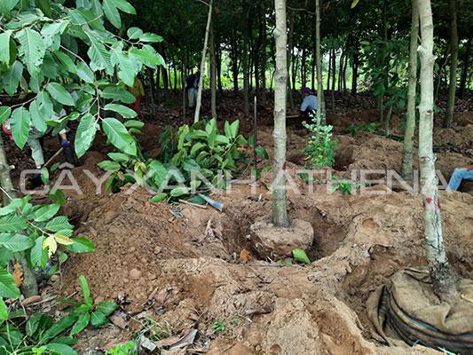 Công ty cung cấp cây xanh công trình giá rẻ