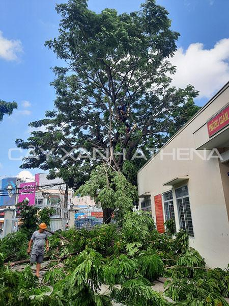 Dịch vụ chặt cắt tỉa cây xanh tại Tp.HCM