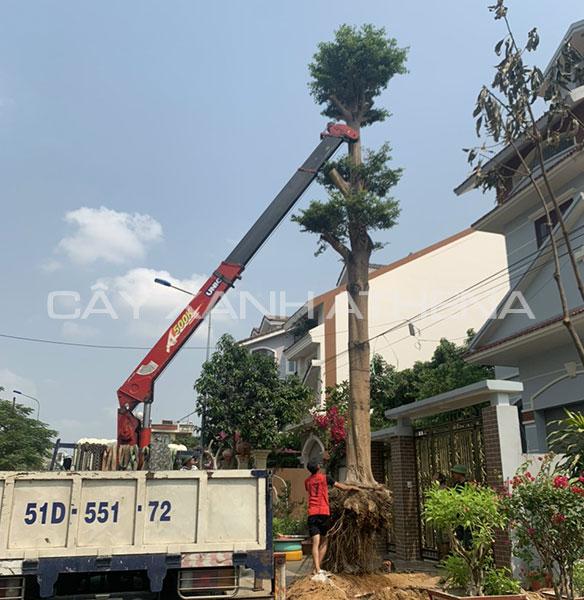 Dịch vụ di dời cây xanh tại Tp.HCM