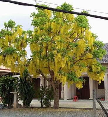 Cây Osaka hoa vàng